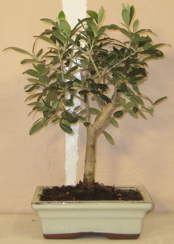 oliventræ pasning